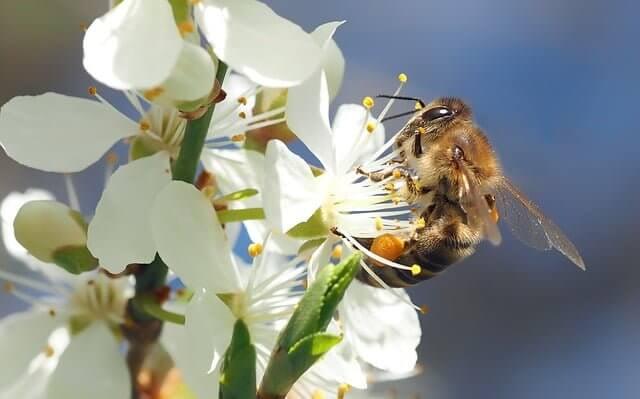 ミツバチ_受粉活動