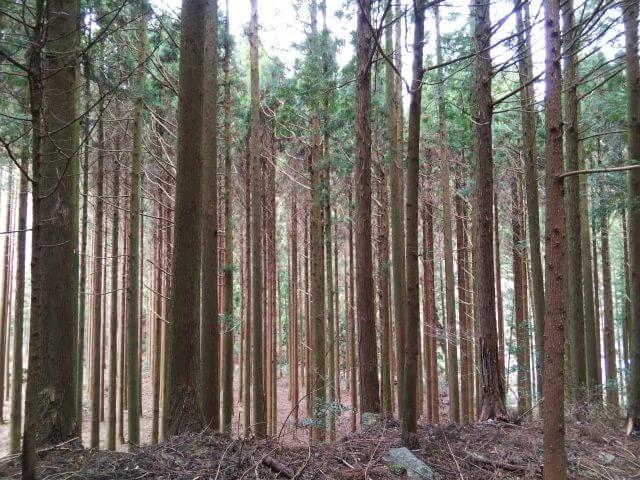 緑の砂漠化_人工林_画像_写真